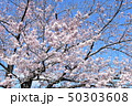 日本の桜 50303608