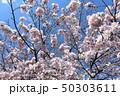 日本の桜 50303611