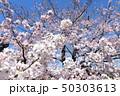 日本の桜 50303613