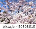 日本の桜 50303615