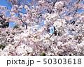 日本の桜 50303618