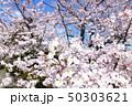 日本の桜 50303621