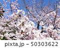 日本の桜 50303622