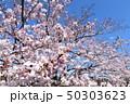 日本の桜 50303623