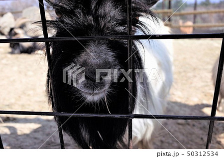 動物園のヤギ、群馬サファリパーク 50312534