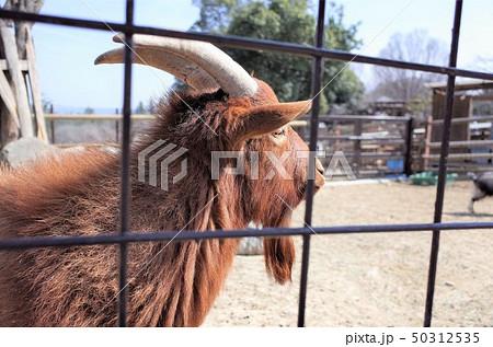 動物園のヤギ、群馬サファリパーク 50312535