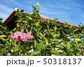 石垣島の東屋をバックにブッソウゲの花 50318137