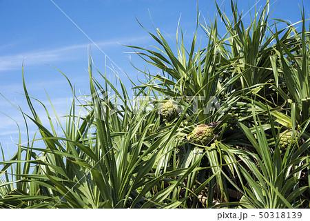 石垣島のアダンの木と実 50318139