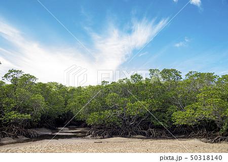 石垣島のヤエヤマヒルギのマングローブ 50318140