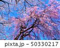 桜 春 コピースペースの写真 50330217