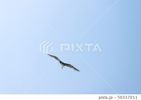 Seagull flying in clear blue sky.  Egypt 50337011