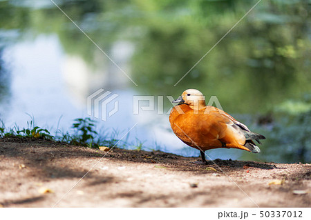 Ruddy shelduck (Tadorna ferruginea)  50337012