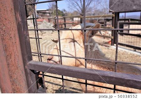 動物園のヤギ、群馬サファリパーク 50338552