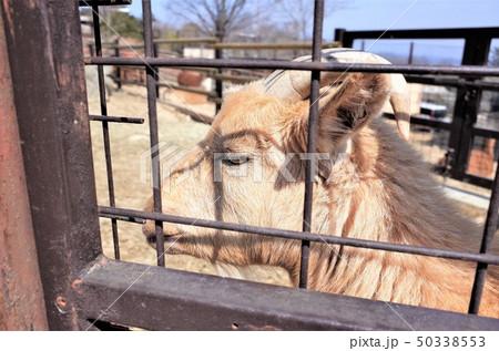 動物園のヤギ、群馬サファリパーク 50338553