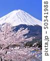 河口湖畔の桜と富士山-77019 50341988