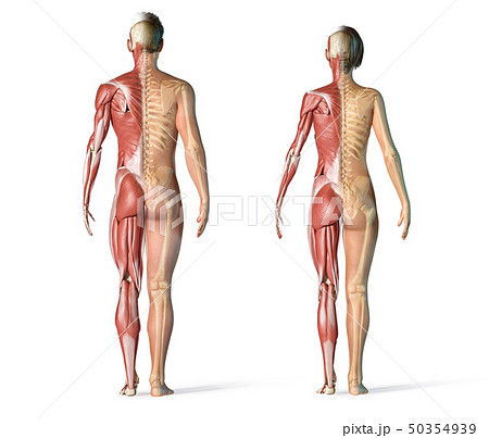 Man and woman muscles and skeletal systems rear 50354939
