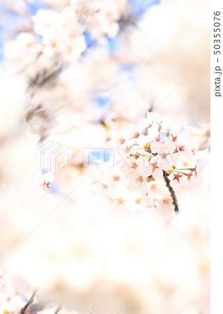 桜 ソメイヨシノ 春 イメージ 50355076