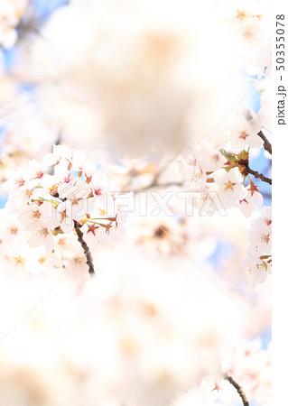 桜 ソメイヨシノ 春 イメージ 50355078
