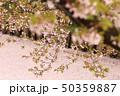 ソメイヨシノ 桜 花の写真 50359887