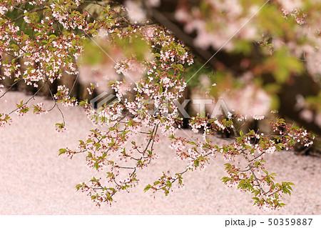 ソメイヨシノと花いかだ 春のイメージ 50359887
