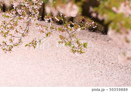 ソメイヨシノと花いかだ 春のイメージ 50359889