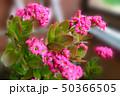 kalanchoe daigremontiana flower 50366505