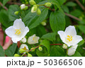 jasmine flowers and green leaves 50366506
