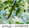 flowering pear tree 50366508