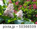 flowering in spring white chestnut 50366509