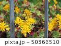 Echeveria hybrids yellow flowers 50366510