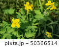 celandine in the garden 50366514