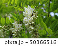 blooming white acacia 50366516