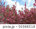 blooming pink cherry 50366518