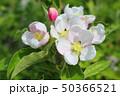 blooming apple tree 50366521