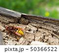 Big Wasp - Vespa crabro 50366522