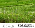 米 風景 花の写真 50368531