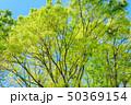 新緑 若葉 木の写真 50369154