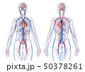 Woman cardiovascular system, rear and front views. 50378261