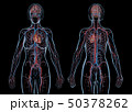 Woman cardiovascular system, rear and front views. 50378262