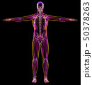 Man diagram x-ray muscular and skeletal systems. 50378263