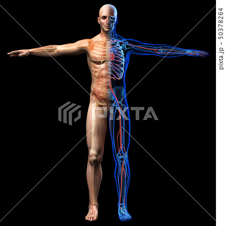 Man skeletal, internal organs diagram and x-ray 50378264
