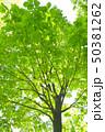 トチノキ 新緑 木の写真 50381262