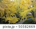 和歌山城庭園の大銀杏 50382669