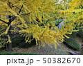 和歌山城庭園の大銀杏 50382670