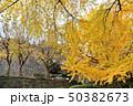 和歌山城庭園の大銀杏 50382673