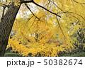 和歌山城庭園の大銀杏 50382674