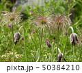 オキナグサの花と若い果実 50384210