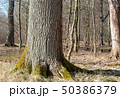 big tree in spring forest 50386379
