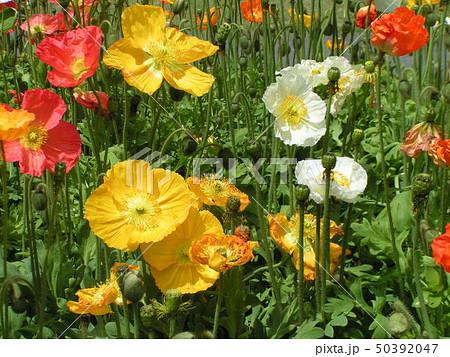 綺麗なアイスランドポピー赤と白とオレンジ色の花 50392047