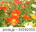 綺麗なアイスランドポピーの赤と黄色の花 50392050